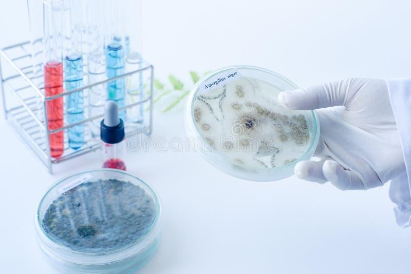 科学家真菌展示殖民地  免版税库存照片