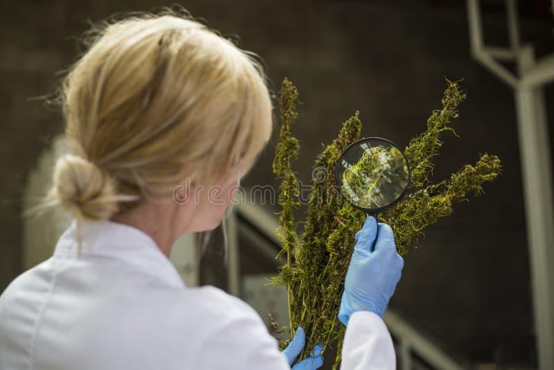 科学家观察与放大镜的干燥CBD大麻花在工厂 图库摄影