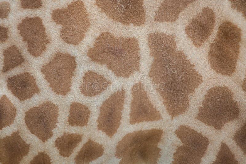 科尔多凡长颈鹿& x28; 长颈鹿camelopardalis antiquorum& x29; 皮肤textu 免版税库存照片
