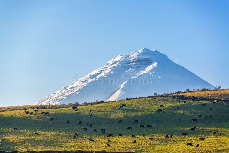 科托帕克西火山和家畜 免版税库存图片