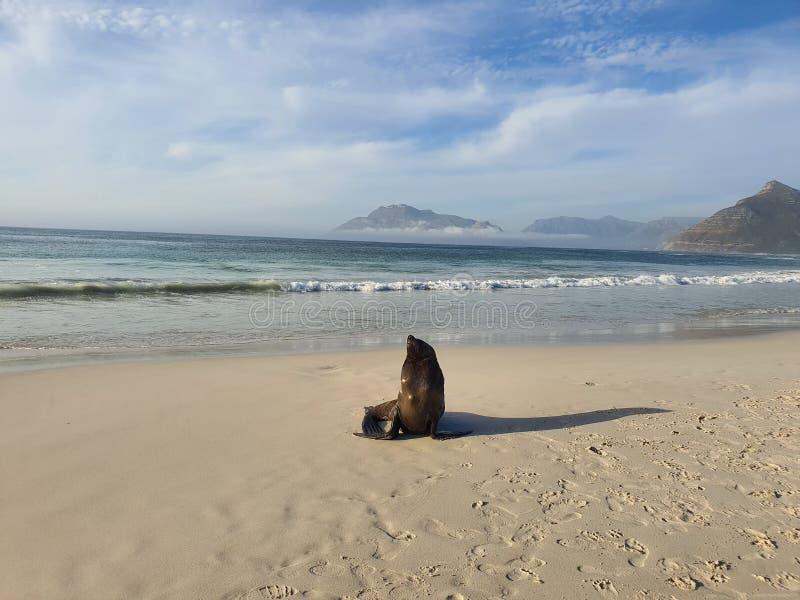 科梅杰长滩海狮 库存图片