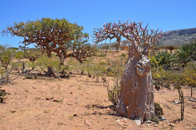 索科特拉岛,也门,瓶树(沙漠上升了- adenium obesum)在Homhil高原 免版税库存图片