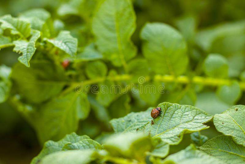 科罗拉多吃叶子的薯虫 库存照片