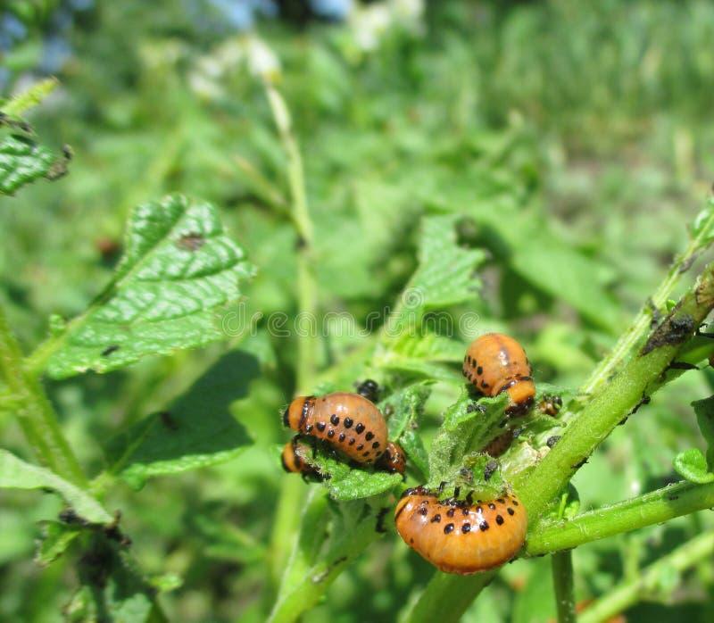 科罗拉多在年轻土豆叶子的薯虫幼虫 众多的科罗拉多甲虫幼虫 吃在菜的虫 库存图片