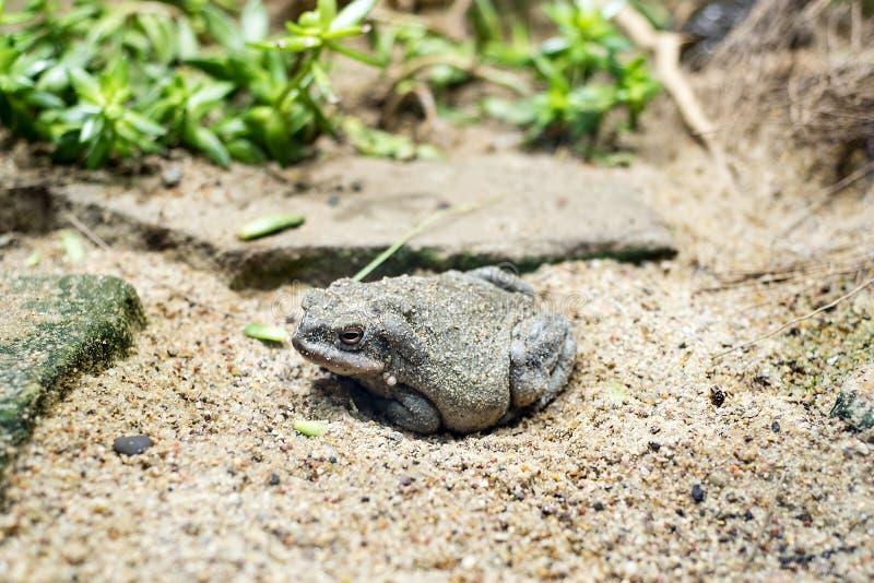 科罗拉多河蟾蜍 库存图片