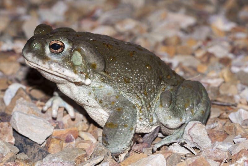 科罗拉多河蟾蜍Incilius alvarius, Sonoran沙漠蟾蜍,是在北墨西哥找到的一只对神经起显著作用的蟾蜍 免版税库存照片