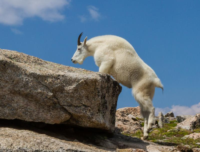 科罗拉多石山羊Oreamnos美洲的灵活地攀登拖曳 库存照片