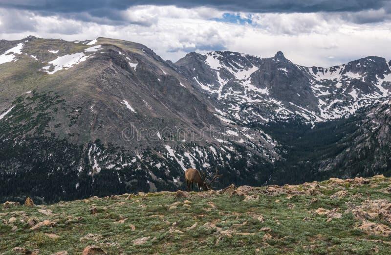 科罗拉多罗基斯的本质  在一座高山的野生马鹿吃草 库存图片