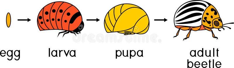 科罗拉多薯虫或Leptinotarsa decemlineata的生命周期 发展阶段从鸡蛋的到成人昆虫 库存例证