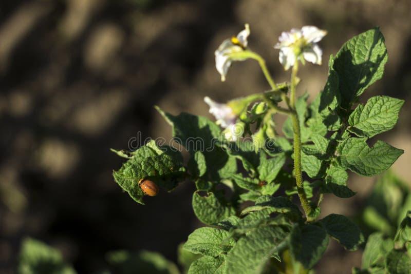 科罗拉多薯虫的幼虫吃一个开花的土豆,庭院虫的叶子 免版税库存图片