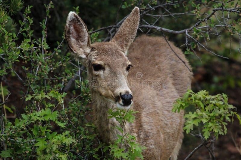 科罗拉多鹿 库存照片