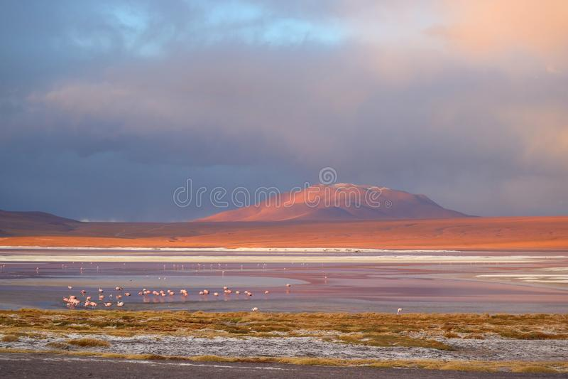科罗拉达湖或红色盐水湖玻利维亚人的阿尔蒂普拉诺高原有一个大小组的火鸟,波托西部门,玻利维亚 图库摄影