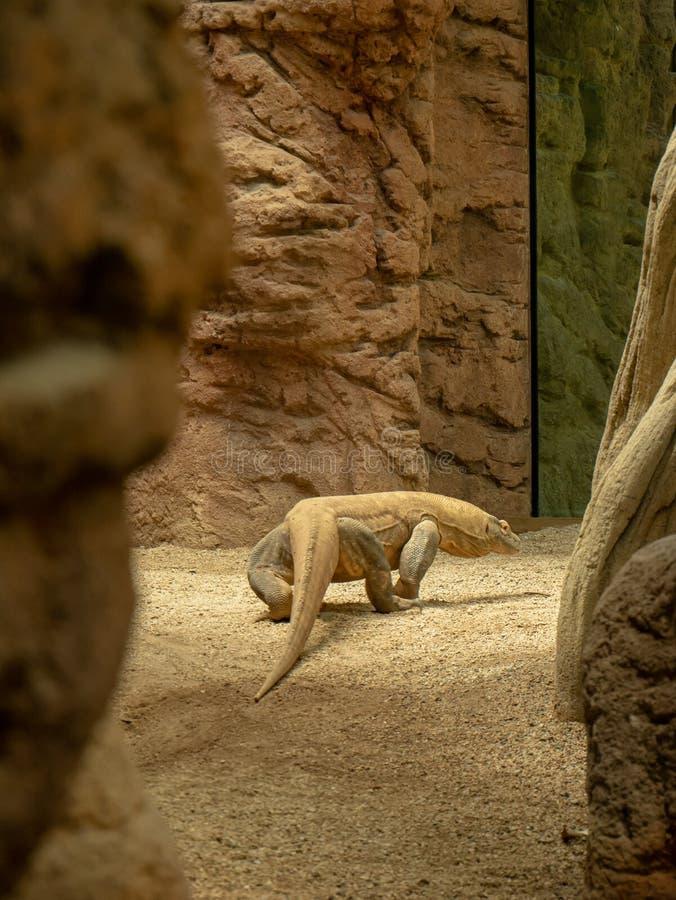科莫多巨蜥在动物园里 库存图片