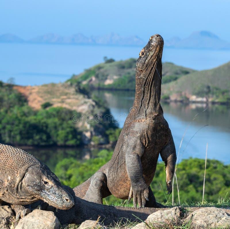 科莫多巨蜥在它的后腿站立 科学名字:巨晰属komodoensis 最大的生存蜥蜴在世界上 印度尼西亚海岛komodo国家公园rinca 免版税库存照片