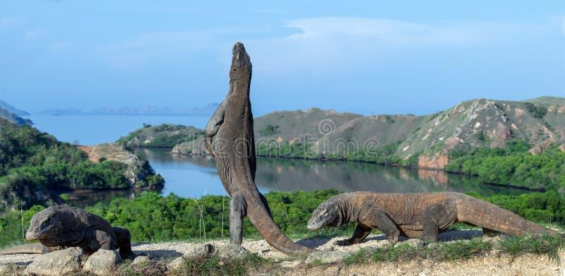 科莫多巨蜥在它的后腿站立 科学名字:巨晰属komodoensis 最大的生存蜥蜴在世界上 印度尼西亚海岛komodo国家公园rinca 库存图片