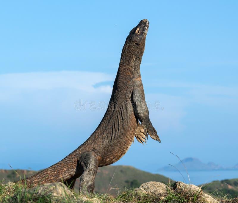 科莫多巨蜥在它的后腿站立 科学名字:巨晰属komodoensis 最大的生存蜥蜴在世界上 印度尼西亚海岛komodo国家公园rinca 免版税库存图片