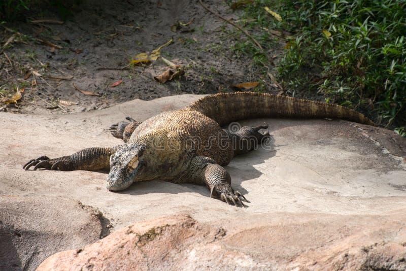 科莫多巨蜥蜥蜴 免版税图库摄影