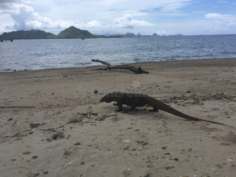 科莫多巨蜥,在科莫多岛海岛上的巨晰属Komodoensis科莫多国家公园的,印度尼西亚 免版税图库摄影