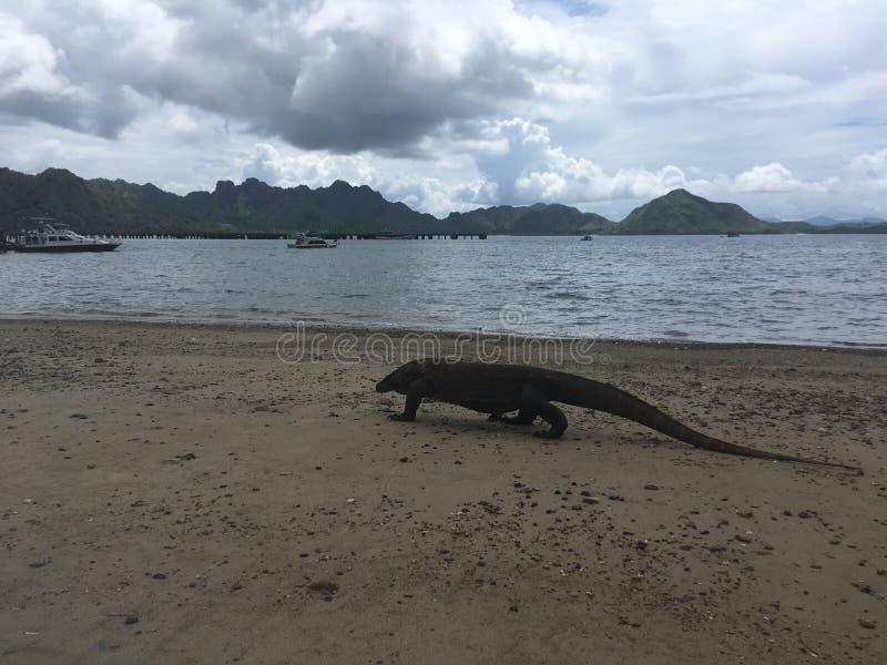 科莫多巨蜥,在科莫多岛海岛上的巨晰属Komodoensis科莫多国家公园的,印度尼西亚 库存图片