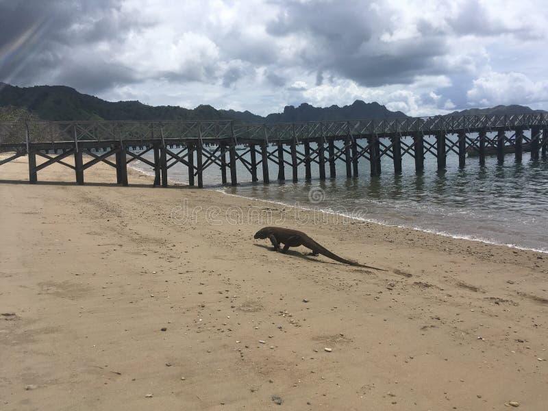 科莫多巨蜥,在科莫多岛海岛上的巨晰属Komodoensis科莫多国家公园的,印度尼西亚 免版税库存图片