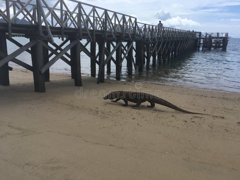 科莫多巨蜥,在科莫多岛海岛上的巨晰属Komodoensis科莫多国家公园的,印度尼西亚 图库摄影