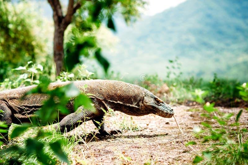 科莫多巨蜥,巨晰属komodoensis,科莫多国家公园,弗洛勒斯,印度尼西亚 免版税库存照片