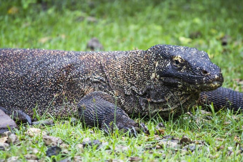 科莫多巨蜥(巨晰属komodoensis)在科莫多国家公园, Eas 免版税库存图片