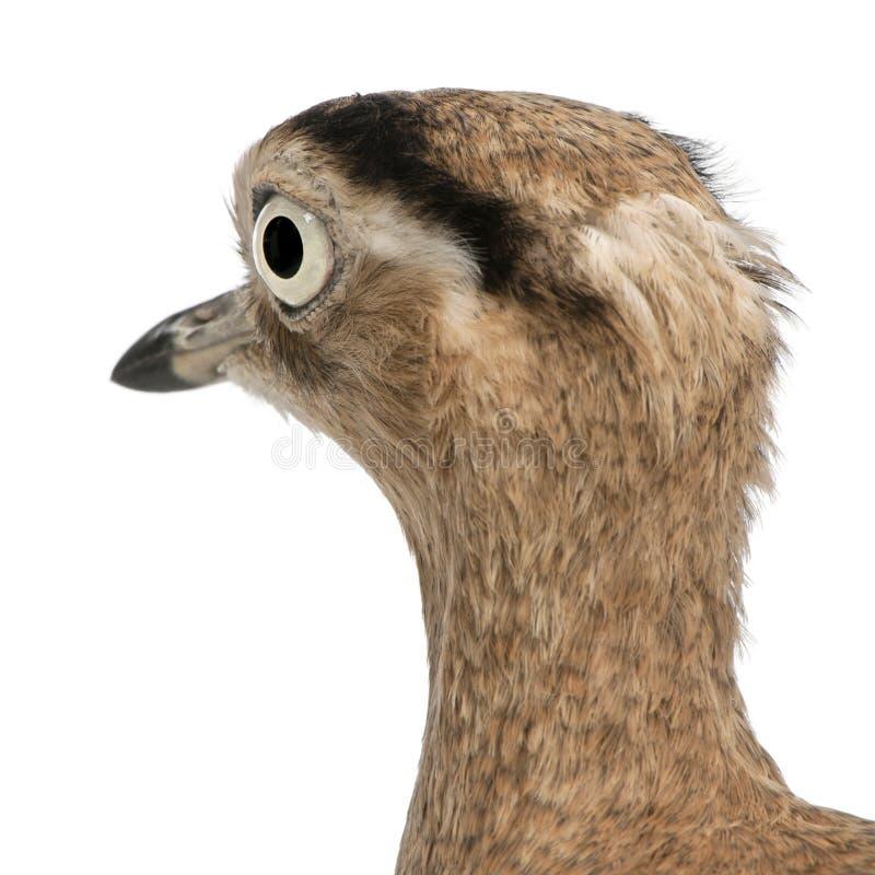 秘鲁厚实膝盖,Burhinus superciliaris,3岁特写镜头  免版税库存照片