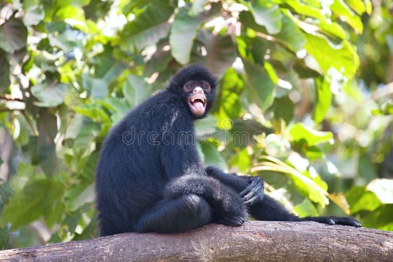 秘鲁蜘蛛猴,蛛猴属chamek,坐在树 免版税库存照片
