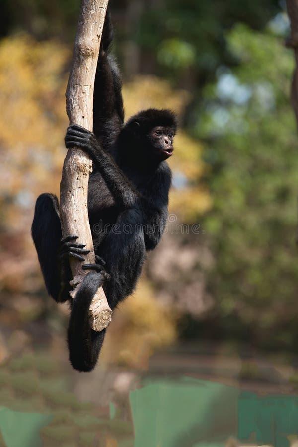 秘鲁蜘蛛猴,蛛猴属chamek,坐在树 库存照片