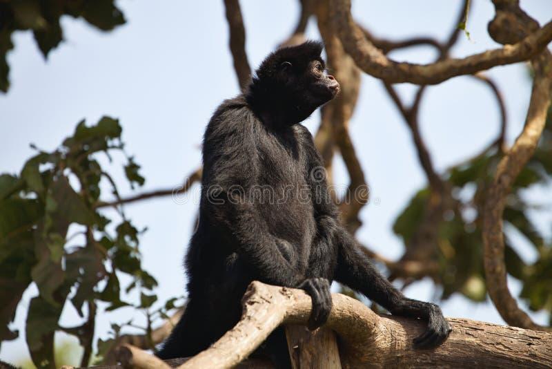 秘鲁蜘蛛猴,蛛猴属chamek,坐在树 免版税图库摄影
