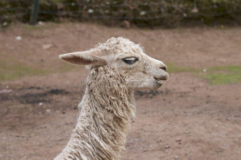 秘鲁骆马 库存图片