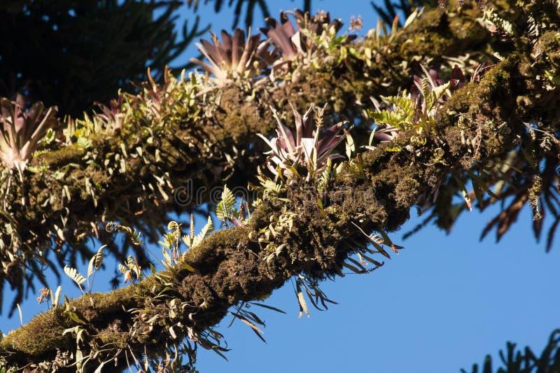 秘鲁epifit植物 免版税库存图片