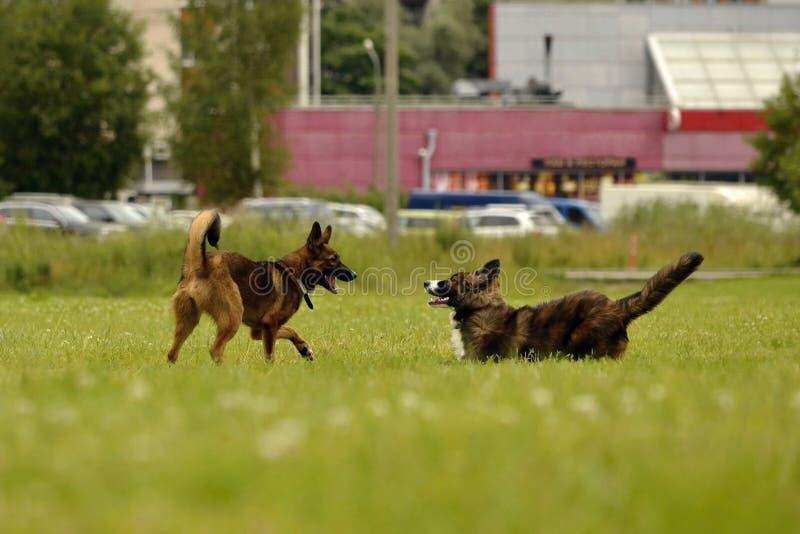 积极的狗 狗训练  小狗教育, cynology,幼小狗密集的训练  在步行的幼小精力充沛的狗 库存照片