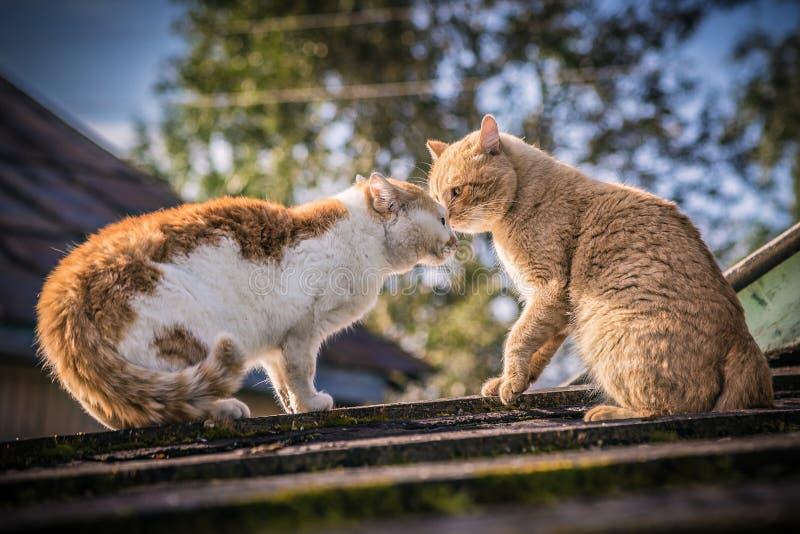 积极的猫划分疆土 图库摄影