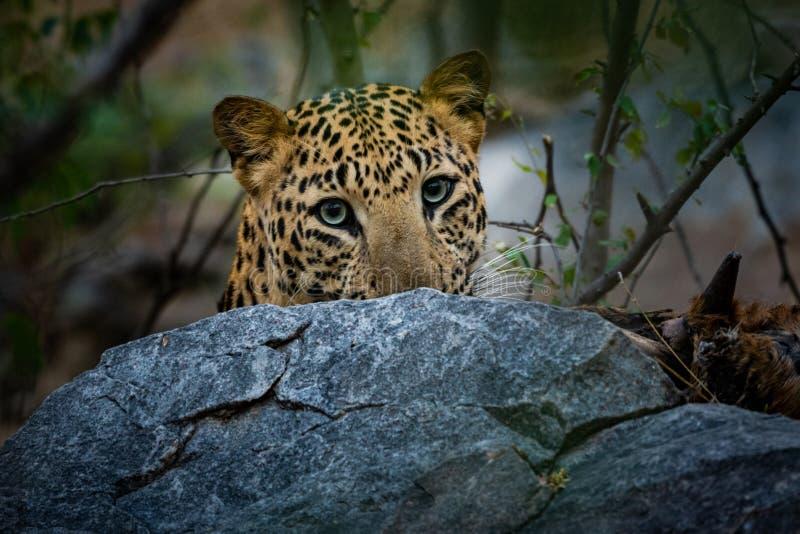 积极的豹子或豹属pardus头射击与吃蓝牛羚的尸体表示在jhalana森林储备,斋浦尔 图库摄影
