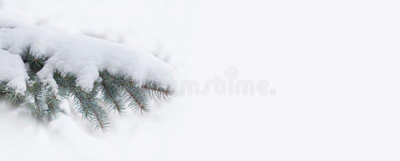 积雪的云杉的分支 在白色背景的美好的常青杉树xmas装饰元素 复制空间 免版税图库摄影