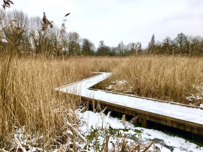 积雪的木木板走道在沼泽地中心 图库摄影