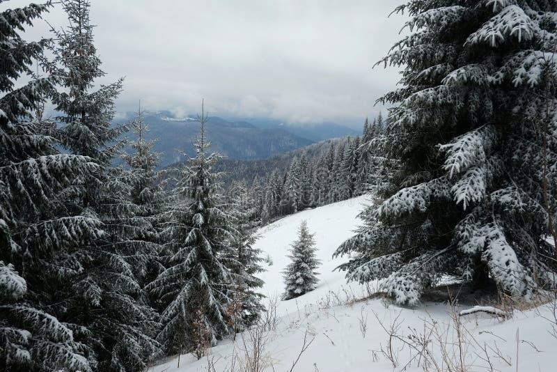 积雪的杉木云杉的树和在背景山脉和多云天空在冬天季节 库存图片