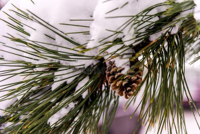 积雪的杉木分支和pinecone 免版税库存照片