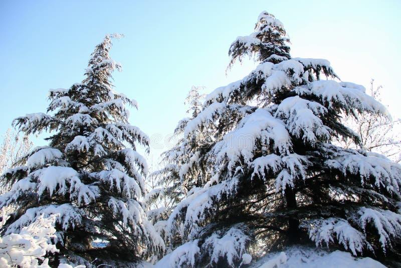 积雪的杉木 库存照片