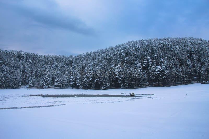 积雪的杉树风景在一多云天在冬天 库存照片