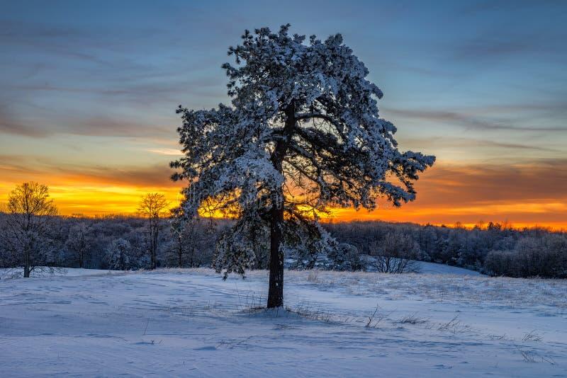 积雪的杉树,坎伯兰峡国家公园 免版税库存照片