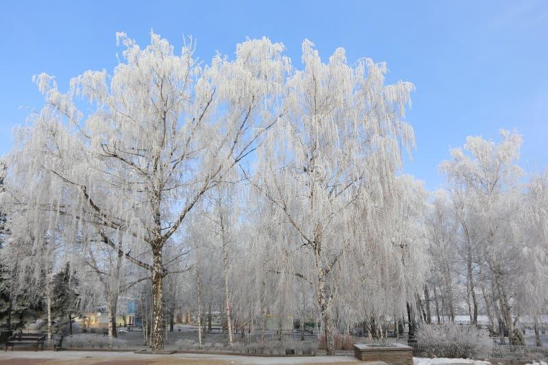 积雪的桦树在公园 免版税库存图片