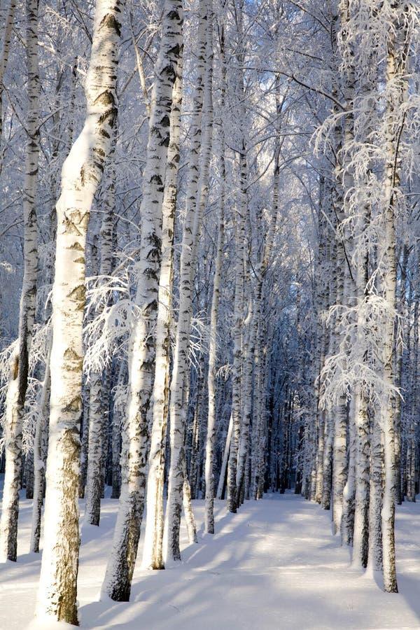 积雪的桦树在晴朗的冬天森林里 免版税库存照片