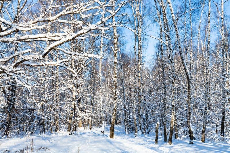 积雪的桦树树丛在森林里在晴天 免版税库存图片