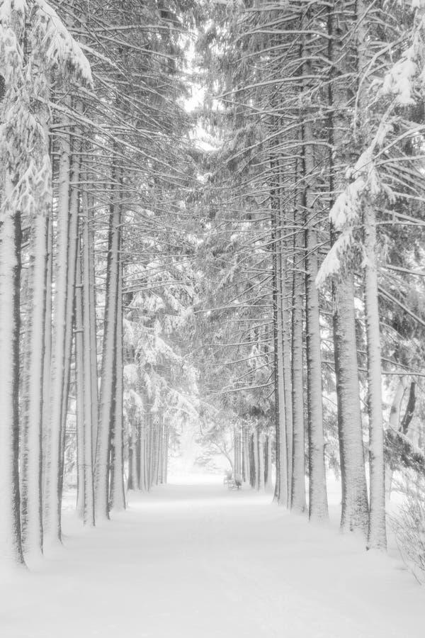 积雪的高冷杉和云杉的树胡同在镇公园 北京,中国黑白照片 库存照片