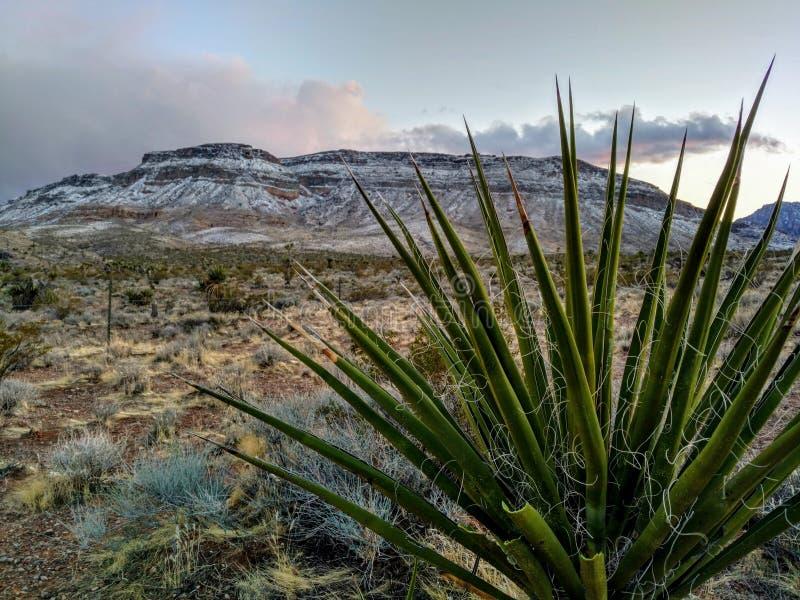 积雪的mesa的丝兰植物在红色岩石峡谷在冬天,拉斯维加斯,内华达 免版税库存照片
