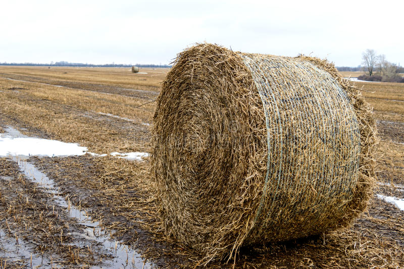 秸杆在领域离开在谷物丰收,密集的卷的形成以后为使用作为燃料,药丸的生产 免版税库存照片