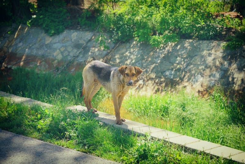 秸杆狗在村庄格拉查尼察 图库摄影